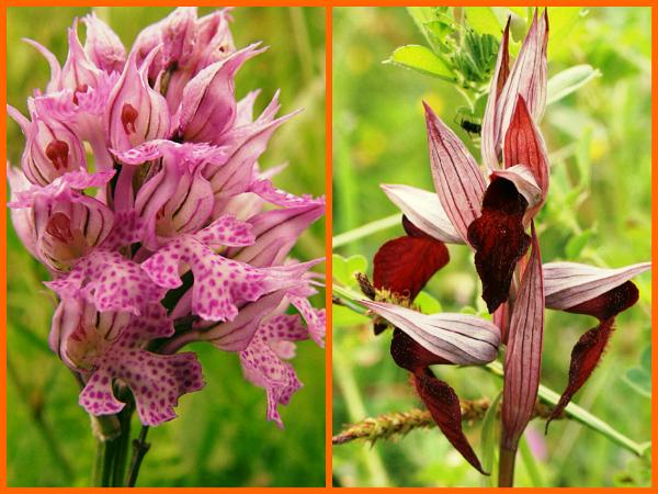 Орхидеи, из корней которых делают муку салеп